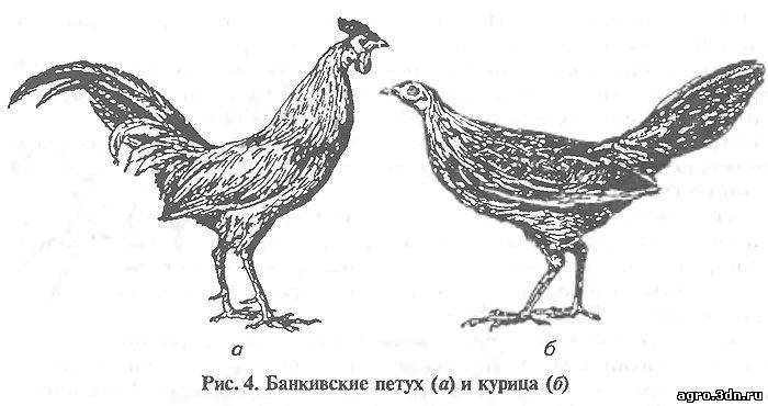 Рис. 4. Банкивские петух (а) и курица (б)